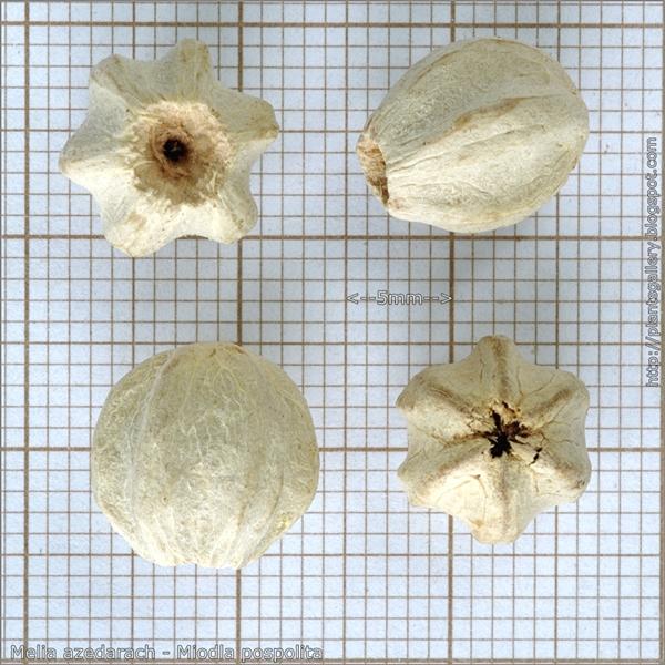 Melia azedarach seeds - Miodla pospolita, Melia pospolita nasiona