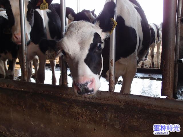 崙背酪農乳牛 – 吉利兒牧場 (牛隻篇/味全牛乳篇)