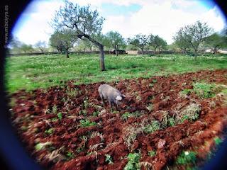 Cerdo Negro, Mallorca