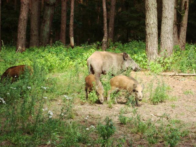 Dziki w Manowie