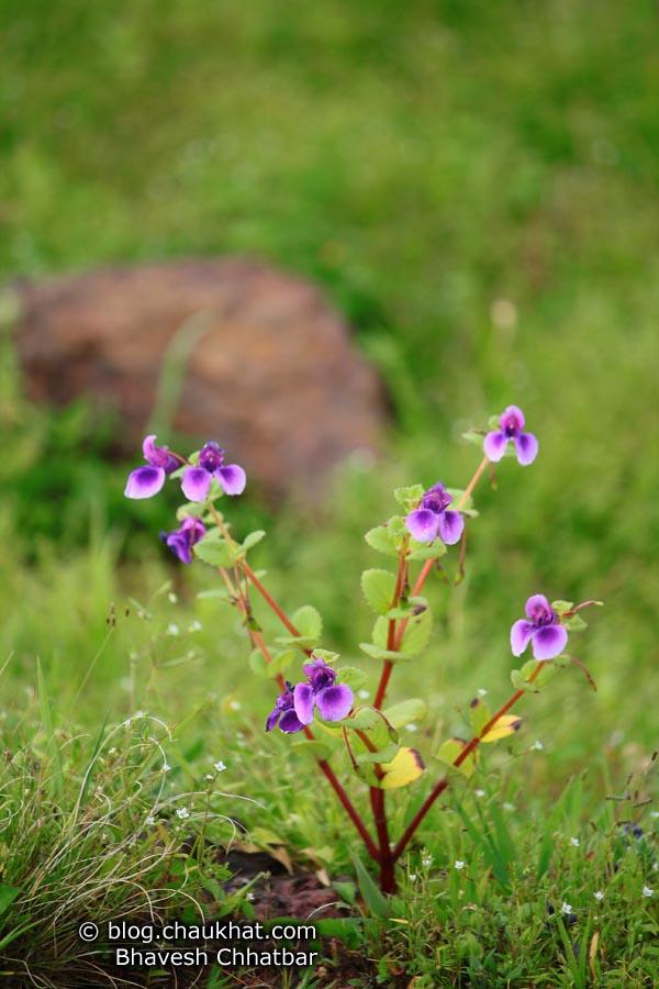 Violet Orchids Plant at Kas Plateau