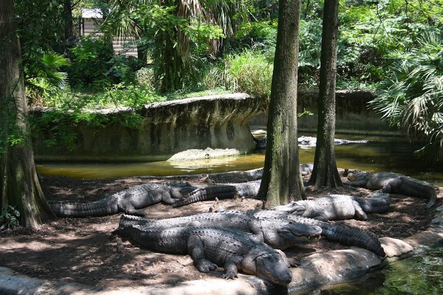 Florida America Alligator