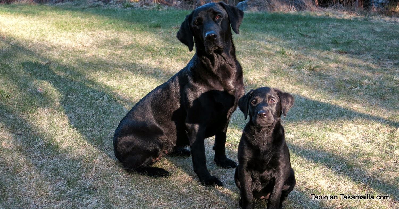 labradorinnooutajat istuvat