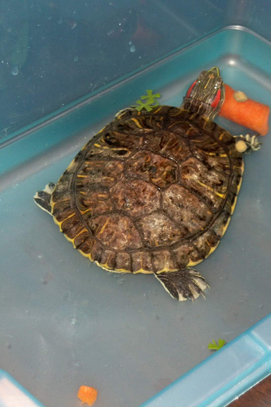 living sola gratia did i mention we got a turtle