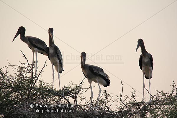 4 young painted storks