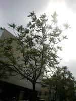 Cây lát hoa - cây bóng mát cho gỗ quý