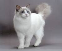 gato ragdoll lindíssimo gatinho raça