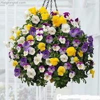 Hướng dẫn chăm sóc hoa păng xê