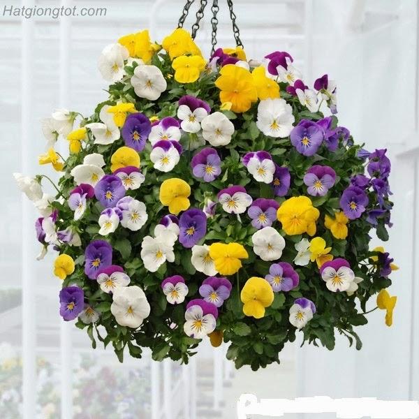 Hướng dẫn kỹ thuật chăm sóc hoa păng xê