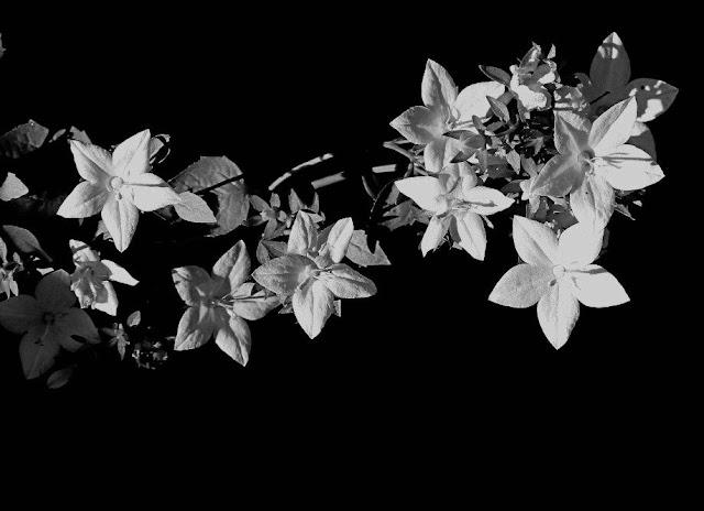 o floare alb, un ultim omagiu