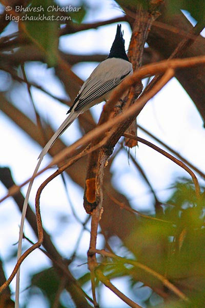 Long tail of an Asian Paradise Flycatcher