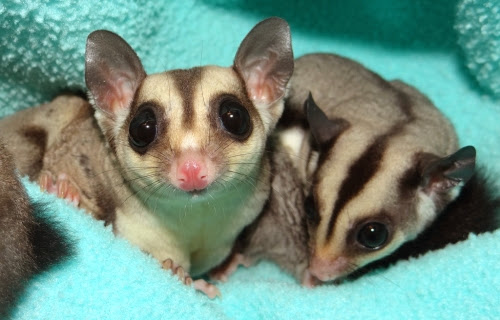 Forence and Nightingale - Female Cage Mate Sugar Gliders