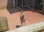 Here's the new baby giraffe at the zoo - so cute!