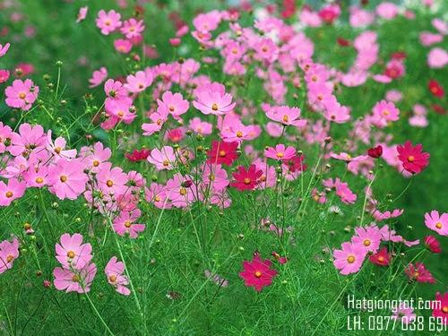 Hoa Sao nhái ( Cánh Bướm)
