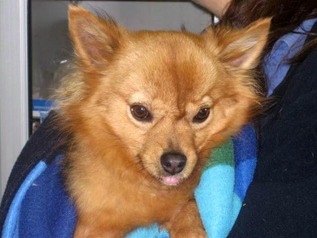 Cane in adozione al canile sanitario veterinari aulss for Cane volpino