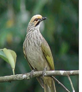 melatih+kicau+burung+Cucak+Rowo Memperbaiki Kicauan Burung Cucak Rowo