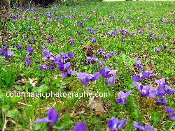 Viola odorata-Sweet violet field