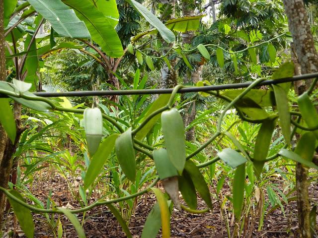 twisting vanilla bean at the spice plantation. From Through the eyes of an educator: Zanzibar, Tanzania
