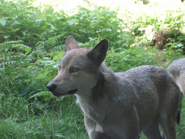 Les Loups de Chabrière PICT0434