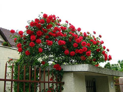 Red climbing rose bush  on a trailer - Blaze photo