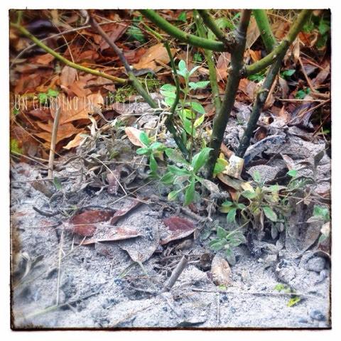 cenere di legna ai piedi di una rosa
