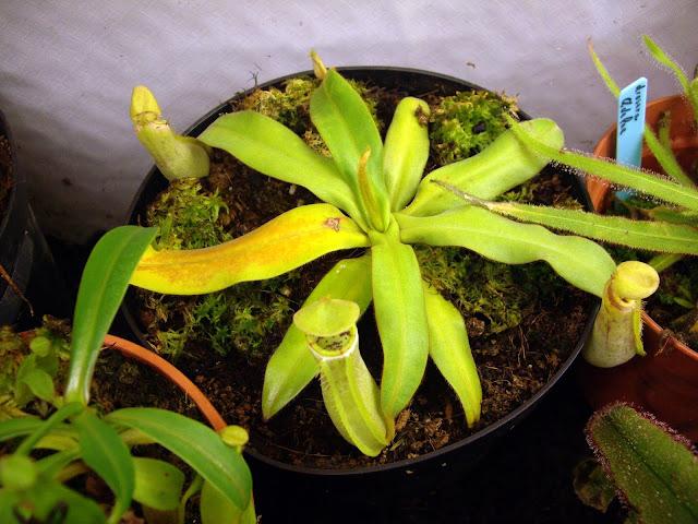 photos de mes orchidées en fleur - Page 2 IMGP4849
