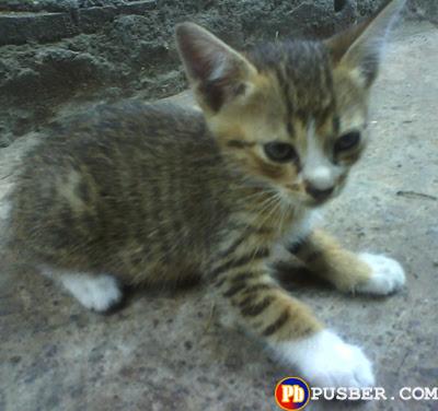 Jenis Kucing Kampung