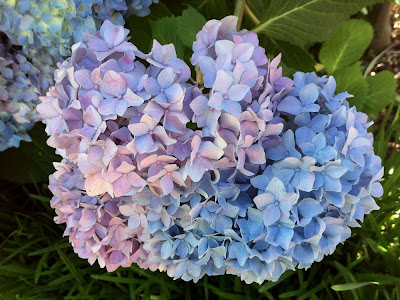 cropped and sharpened Hydrangea image