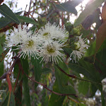 Flowers hanging over track in Saltwater Creek camping area (105934)