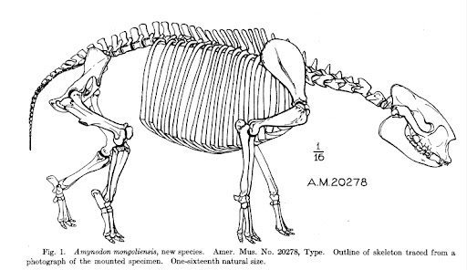 drawing of amynodon skeleton from american museum novitates