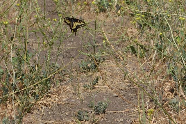 butterfly on mustard