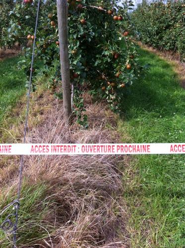 Pommes à cueillir