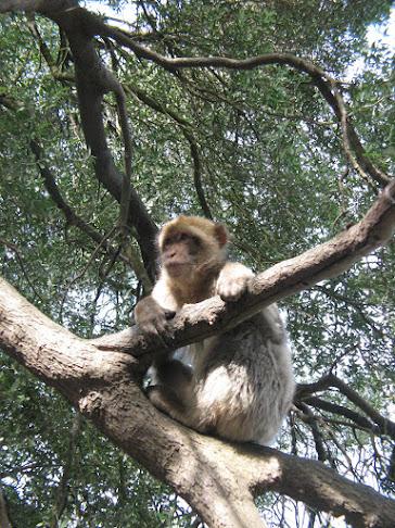 Barbary macaque native to Gibraltar, UK