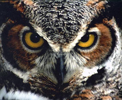 Great-Horned-Owl-EK.jpg