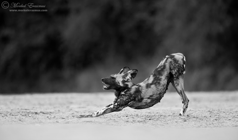 wilddog_stretch_1_mono_ManaPools_2012.jpg