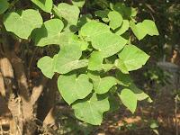 https://lh5.googleusercontent.com/-qGhNF9LqoVY/T4fXi0lyyeI/AAAAAAAAAZE/GlhLg6Efe14/s1600/ZZ+Unknown+086+Tree+-+Leaf.jpg