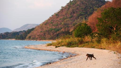 Olive Baboon, Lake Tanganyika, Gombe National Park, Tanzania.jpg