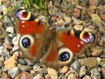 бабочка Павлиний глаз (Inachis io)