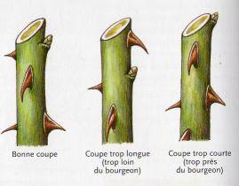 Pepinieres du bois de pieton la taille des rosiers - Quand couper les rosiers ...