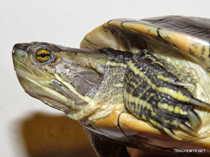 mes tortues (BK) - Page 12 IMG_4480