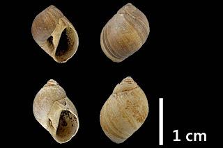 #k18 Euspira s. lat. helicina 11,5x8,7 13,0x9,7mm