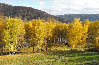 padure de mesteceni toamna, în drum spre Ciucaş, Măneciu, Prahova