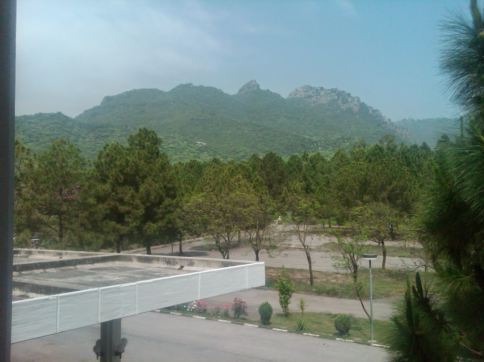 A group of Chir Pine trees in backyard of Faisal Mosque