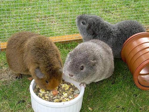 Cavia's in de buitenren op het gras aan het eten