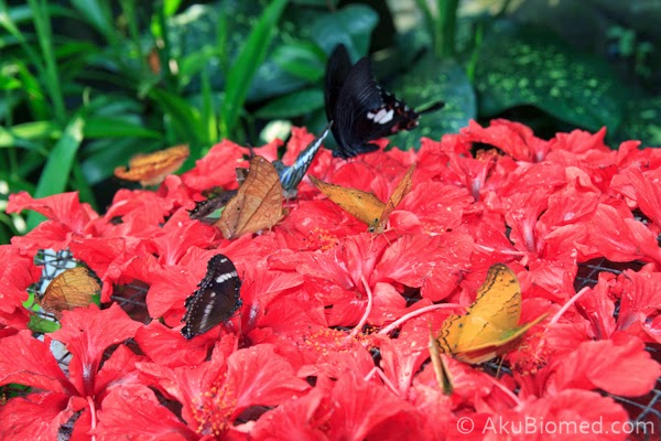 rama-rama menghisap manisan bunga raya