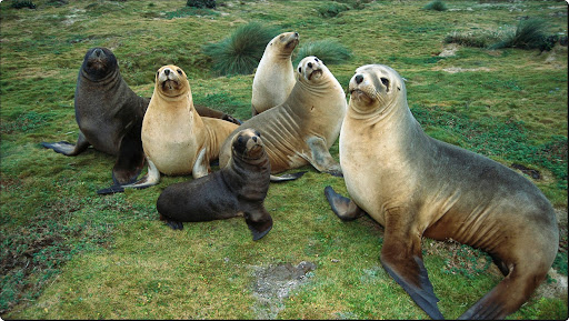 Sea Lions, Enderby Island, Auckland Islands, New Zealand.jpg