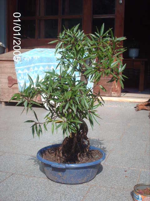 Ficus Nerifolia, Uma raiz de 3 anos... PICT0955