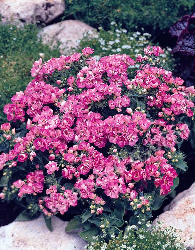 Hoa thanh trúc kép 3