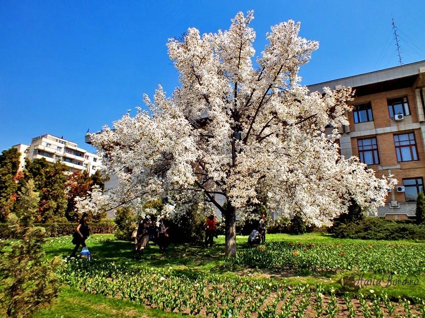 magnolie iasi aprilie 2013