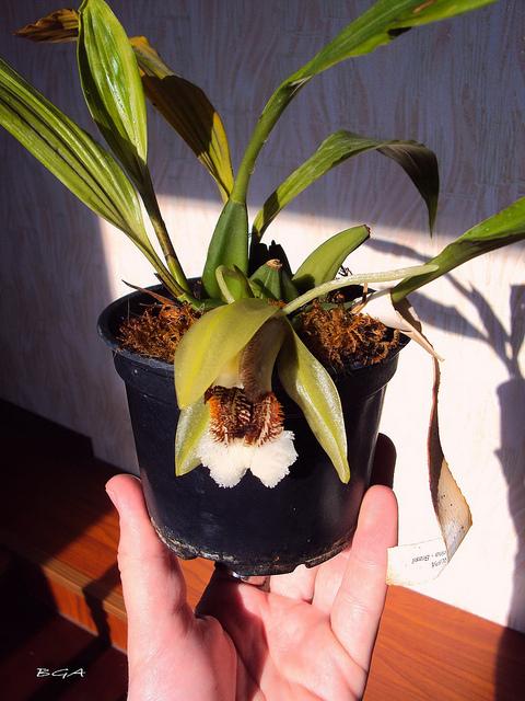 Растения из Тюмени. Краткий обзор - Страница 3 Speciosa